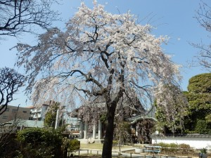 金蔵院のしだれ桜