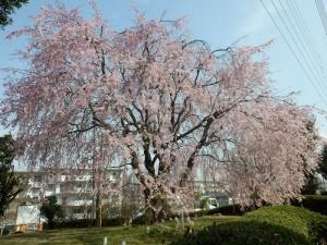 片倉団地の枝垂桜